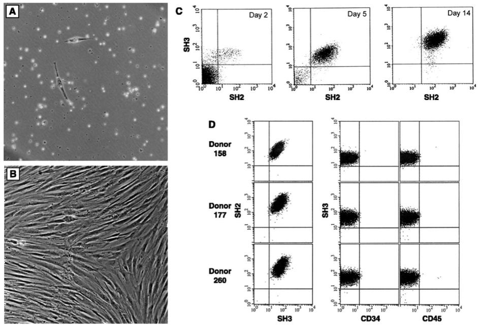 単離骨髄間質細胞