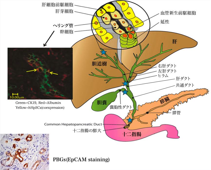 幹細胞と肝臓